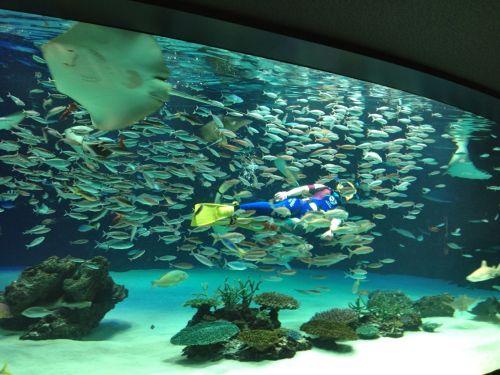 A scuba diver in the tank feeding all the sakana (fish).