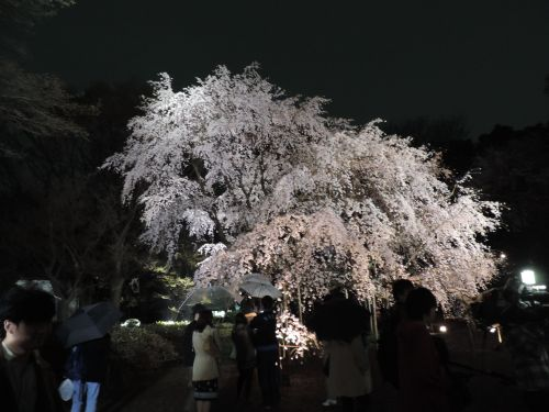 A night time view of the weeping cherry tree at Rikugien gardens near Komagome Station.