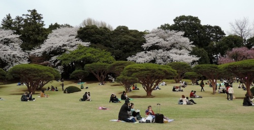 The tradition for hanami is to sit in the park with your loved ones and drink alcohol. However, alcohol is not allowed in Shinjuku Park. So all there is to do is sit.