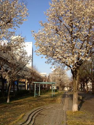 Some cherry trees in bloom viewed during the walk home.