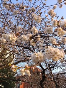 Some cherry blossoms that bloomed prematurely.