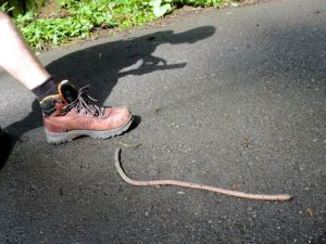 A freaking worm 3 times the size of Joe's boot. A client suggested it might be a tsuchinoko.